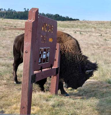 Bison kratzt sich am Schild im Custer State Park