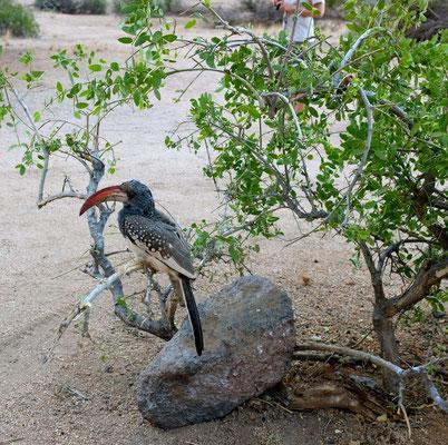 Vogelwelt Spitzkoppe Namibia