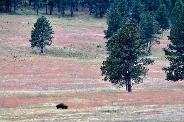 Herbst mit Bison im Custer State Park