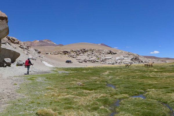 Rio Blanco Flusstal mit Vikunjas, Atacama