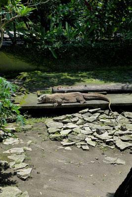 Komodo-Warane im Yogyakarta Zoo