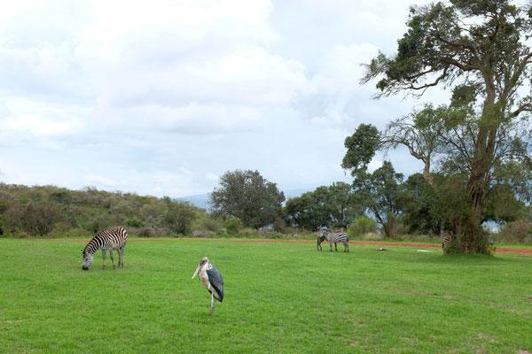 Dauergäste auf der Simba Campsite am Ngorongoro