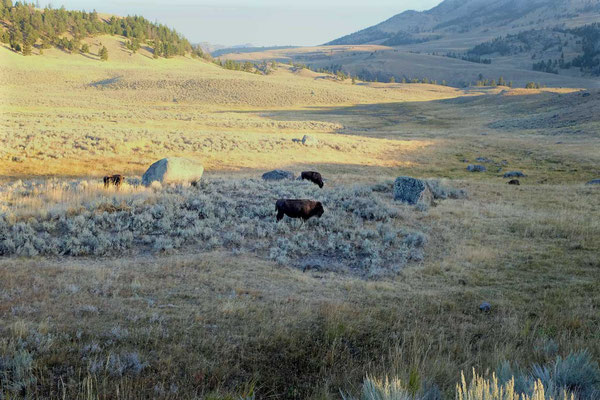 Bisons Lamar Valley Yellowstone