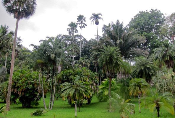 Mini-Palmen Kandy Botanic Garden Peradeniyan Sri Lanka