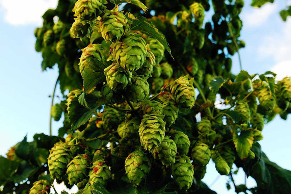 Aromahopfen aus Yakima Valley Washington