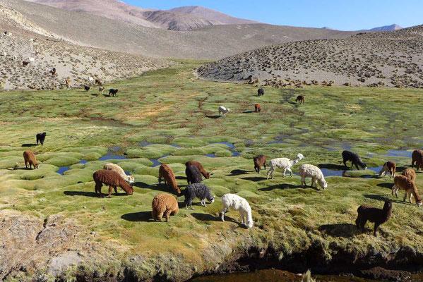 Alpakaherde im Hochmoor bei Putre
