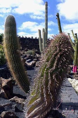 Cesar Manrique Jardin de Cactus Kaktusgarten Lanzarote Guatiza