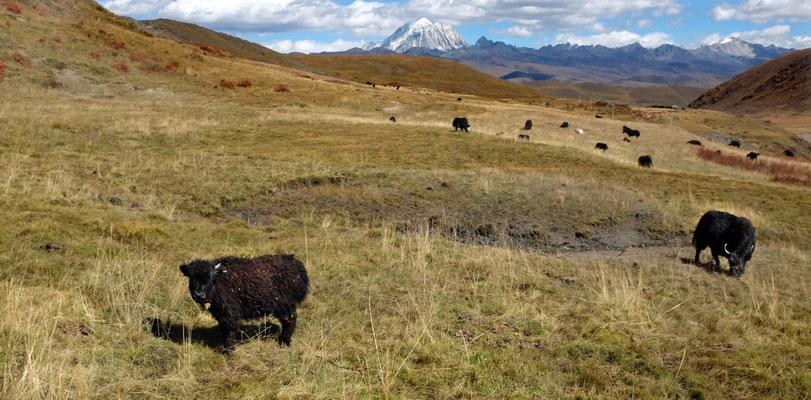 Die Yak-Herden sind friedlich