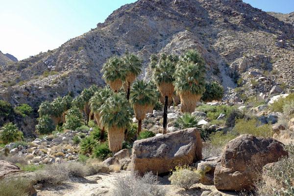 49 Palms Oasis, Joshua Tree NP Wanderung
