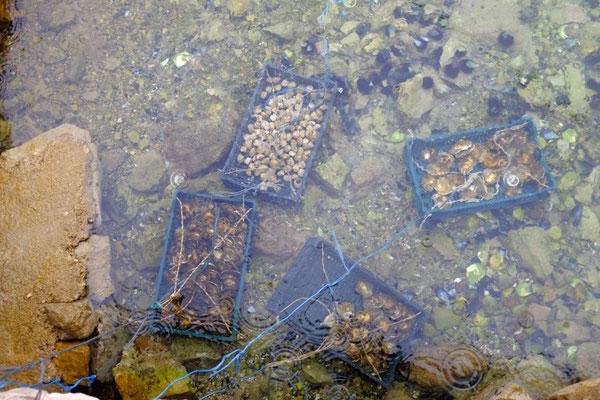 Vielfalt an Muscheln in der Bucht von Ston