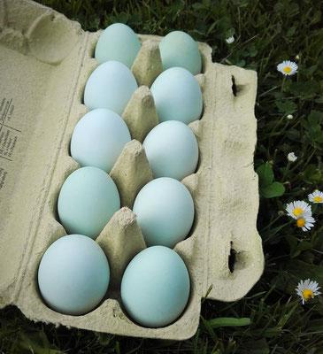 Hühner: Cream Legbar - Landwirtschaft Decker