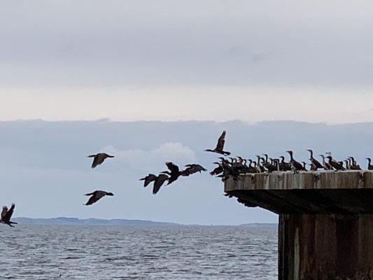 im Greifswalder Bodden schrecke ich die Vögel auf einer alten Plattform auf ... nachdem ich vorbei bin, ist die Plattform leer!