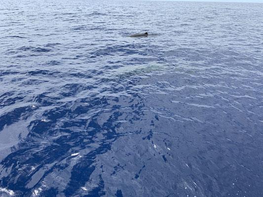 Am zweiten Tag kommen ein paar Wale, deren Art ich aber noch nicht genau bestimmen konnte, zu Besuch ... immer wieder faszinierend  ... auch wenn es kleine Wale waren!