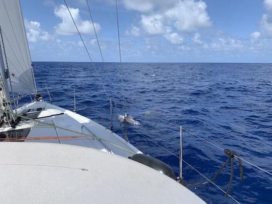 ... nur einmal auf den 540 Seemeilen kommen mich ca. 20 Delfine besuchen und spielen für ca. 15 Minuten rund um das Boot herum ...