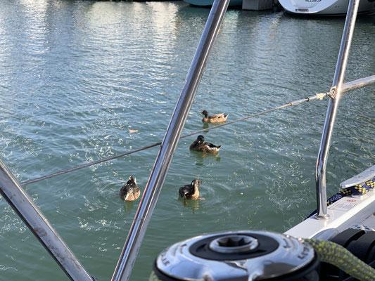 ... heute sind ein paar Entenfamilien im Hafen, die immer mal wieder vorbeischauen ... kleine Ablenkung vom Warten auf die Motorservice-Leute ...