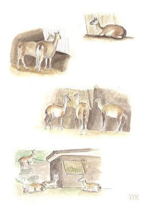 Zooskizzen von Guanakos