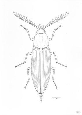 """Schnellkäfer """"ctenicera pectinicornis"""""""