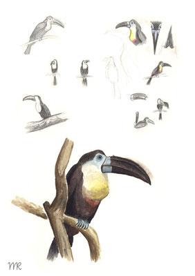 Zooskizzen eines Tukans