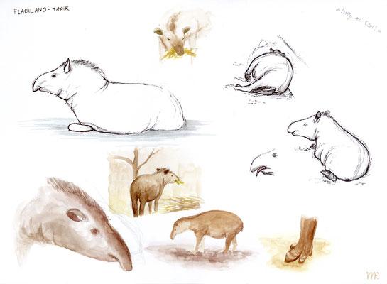 Zooskizzen eines Flachlandtapirs