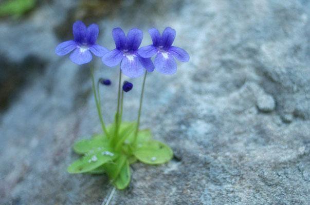 Se perfectionner en botanique : Ici, une plante carnivore rare : la Grassette des Causses
