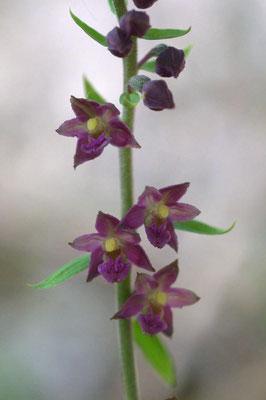 Nommer : Epipactis atrorubens de la famille des Orchidées
