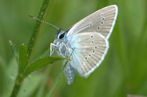 """Connaitre les papillons : Azuré ou """"petit bleu"""""""