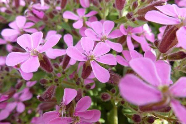 Débuter en botanique. Mais quelle est cette fleur ? La Saponaire des rochers