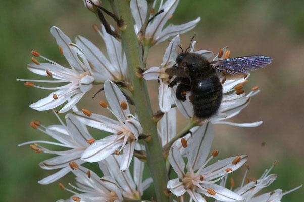 Questionner : Quel est ce gros insectes ? Ici, une abeille charpentière