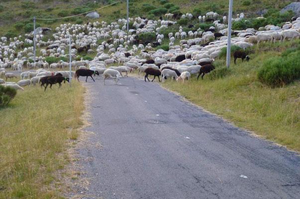 Suivre les transhumances des troupeaux de brebis juqu'au Mont lozère