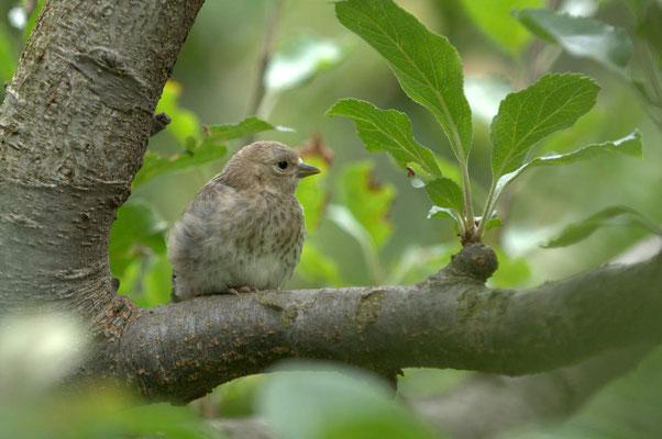 Essayer l'ornithologie. Un chardonneret élégant juvénile attend ses parents sur une branche du verger