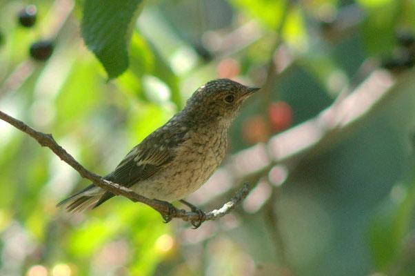 Observer les oiseaux : Gobe mouche noir juvénil