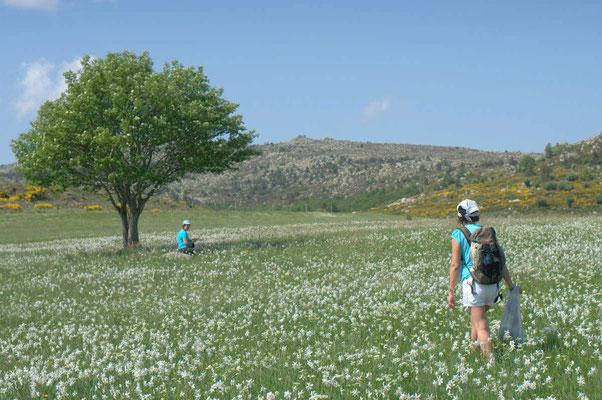 Randonner au printemps parmi les Narcisses des poètes