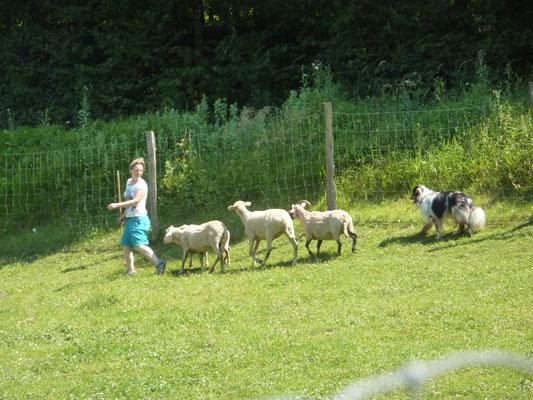 Arbeiten die Herde durch einen Parcour