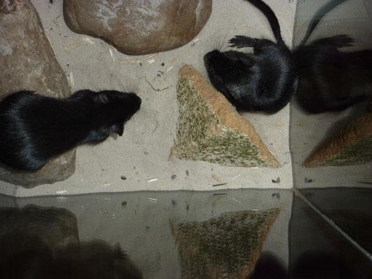 Fips und Flips - zwei junge Rennmäuse als Gesellschaft für Süße