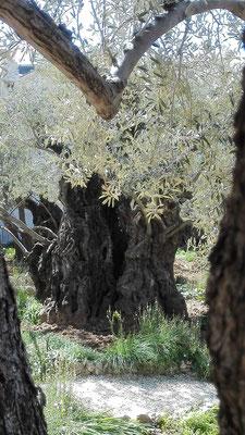 Olive im Garten Getsemani