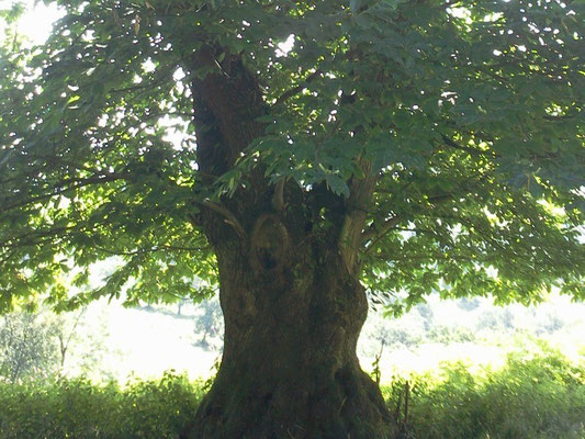 Chêne centenaire à Ostabat
