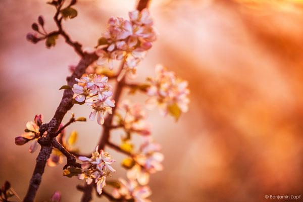 08 - Kirschblüte I