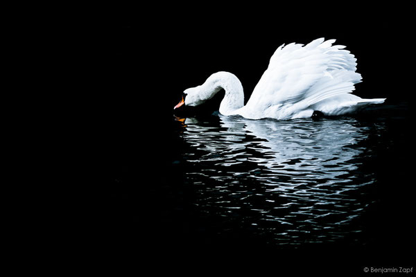 18 - Lonely Swan II