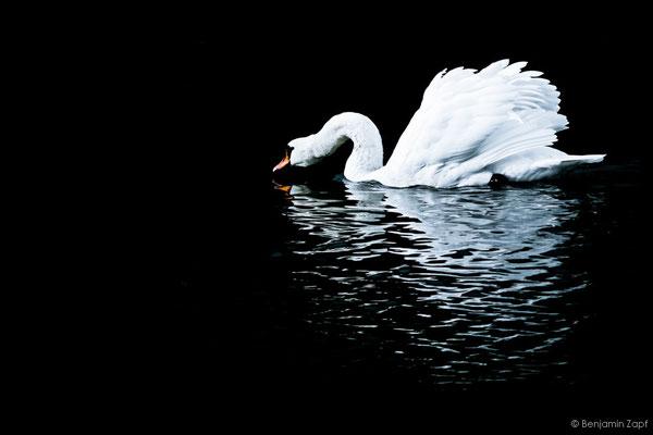 18 - Lonely Swan II