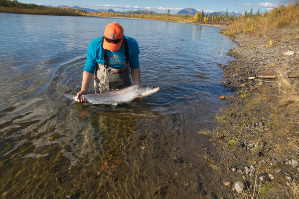 Sheefish Kobuk River Alaska