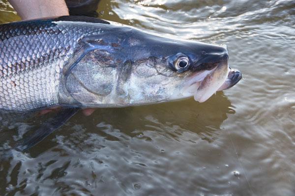 Sheefish Kobuk River Alaska
