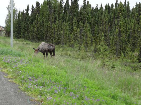 Roadside Moose bei Soldonta