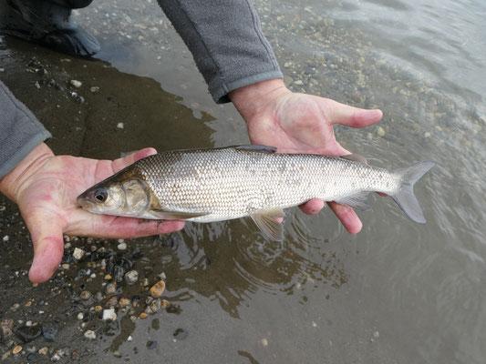 Humpback Whitefish, Kobuk River Alaska