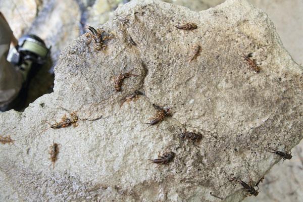 Steinfliegen in der Savinja