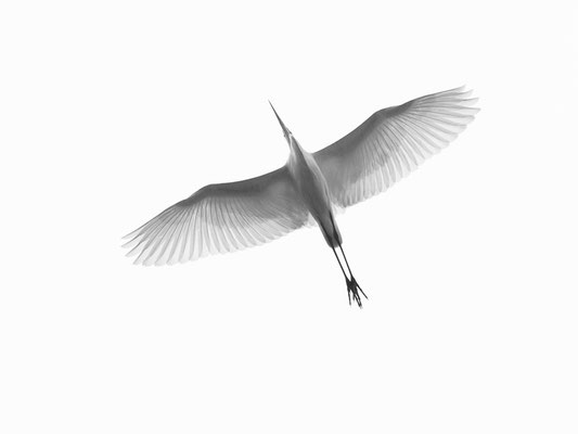 Filigree- Great Egret