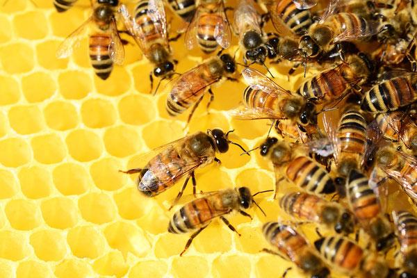 Abeilles et alvéoles de miel (Source Pixabay)