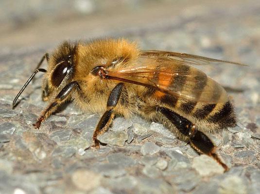 Photos d'animaux qui commencent par la lettre A - l'abeille (Source Pixabay)