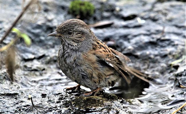 Oiseau - Accenteur Mouchet (Source Pixabay)