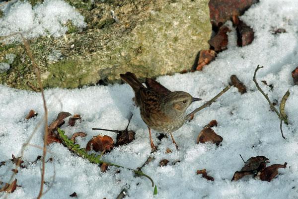 Accenteur mouchet dans la neige (Photo Françoise Moignet)