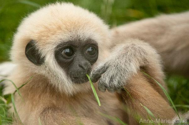 Gibbon à mains blanches (Anne-Marie Kalus)